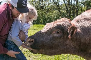 A little blonde girl with pig tails is petting a large cow while being held by her dad.