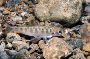 Young salmon camouflaged amongst the rocks
