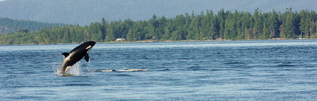 One orca whale in mid jump in the Puget Sound- with trees and slight mountain view in the background.
