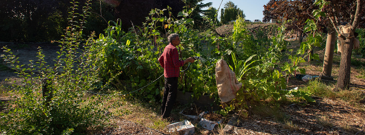 A man watering his garden in a community garden plot. The plants are taller than he is and they are very green and healthy.